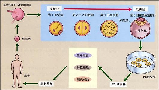 受精卵が胎児になるまえに胚盤胞を開き、なかの細胞を株化する図の画像